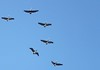 pelicans IMG_4096 (2)