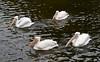 pelicans IMG_3589