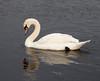 swan IMG_3674