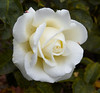 rose IMG_3577