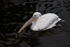 pelican IMG_3591
