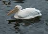 pelican2 IMG_3590