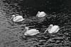 pelicans bw IMG_3589