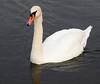 swan IMG_3675