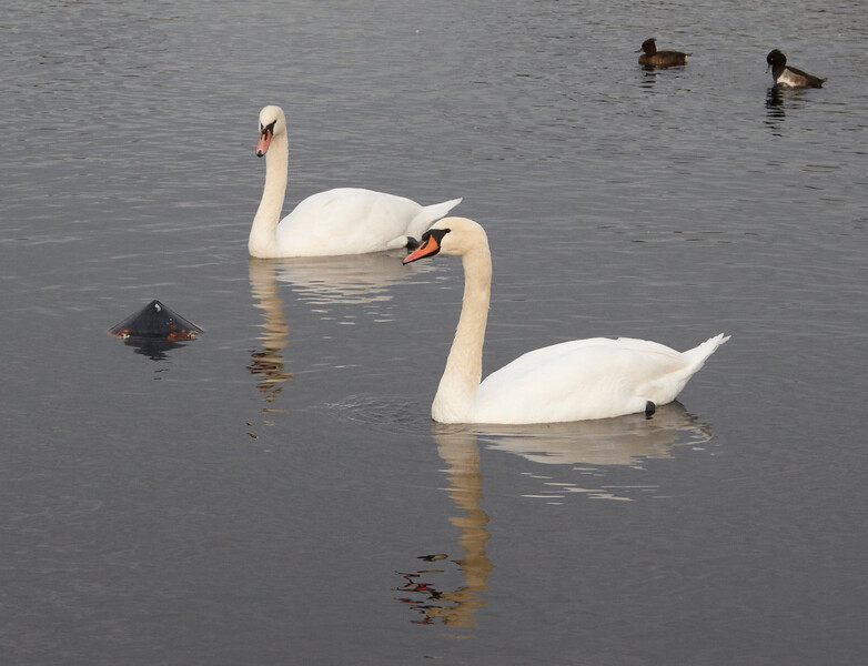 swans IMG_3678