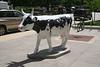 madison cows 012