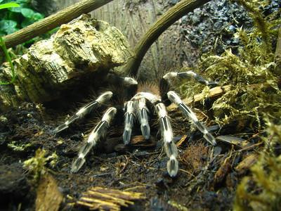 Spider  Some kind of tarantula, I think.