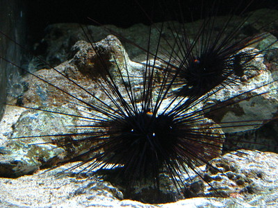 Sea Urchin  Spare a penny, guv?