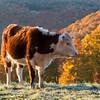 Jenne Farm Cow