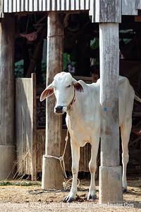 White Cow - Copyright 2018 Steve Leimberg UnSeenImages Com _Z2A7949
