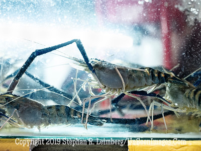 Lobster in Tank - Copyright 2018 Steve Leimberg UnSeenImages Com _DSF9611