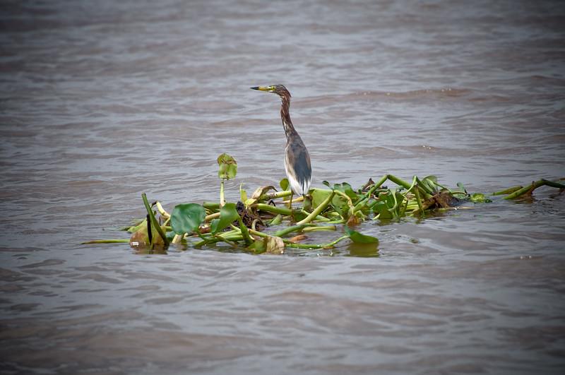 Bird on water plants-Mekong Delta-Tien Giang-My Tho-Vietnam
