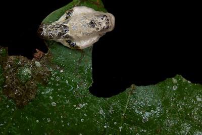 Bird dung limacodid caterpillar