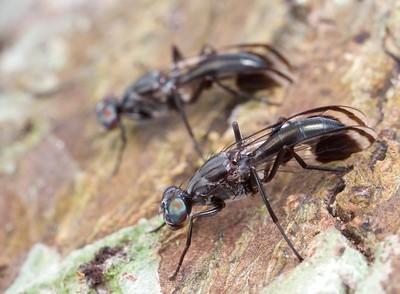 Ant-mimicking fly (Euphranta striatella)