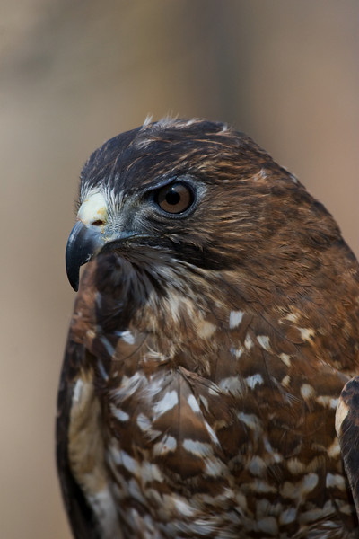 Broad Winged Hawk 020908_4775