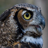 Great Horned Owl 020908_4987