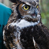 Great Horned Owl 020908_5155