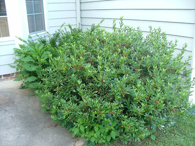 Bushes we planted in mid-1990s
