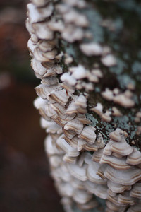 17 Shelf Fungus