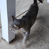 Grey cat is tiny and cute and active (very nuzzly)
