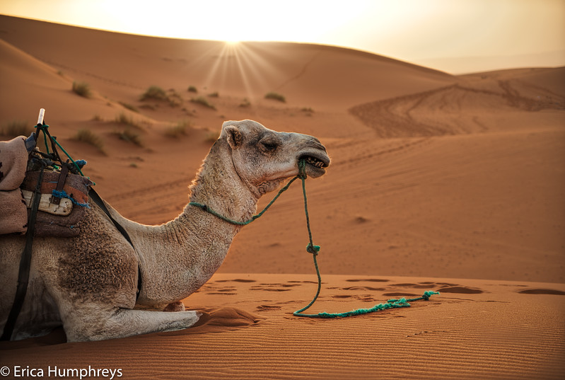 Camels Don't Care About Sunsets