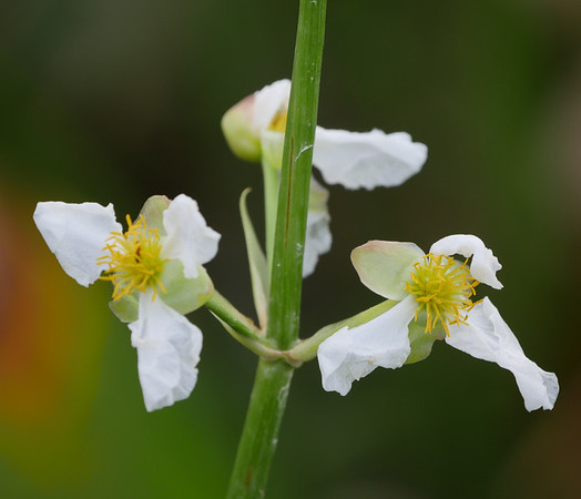 arrowhead flowers
