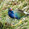 Adult Purple Gallinule at Wakodahatchee Wildlife Preserve