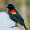 Red Winged Blackbird in Mating Colors