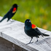 Red Winged Blackbirds in Mating Colors