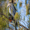 Female Anhinga at Wakodahatchee Wildlife Preserve