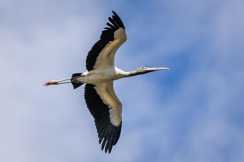 Wood Stork at Green Cay Wetlands