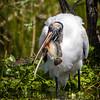 Wood Stork with Catch at Wakodahatchee Wildlife Preserve