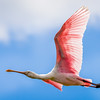 Roseate Spoonbill at Green Cay Wetlands