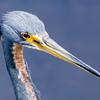Tricolored (Louisianna) Heron