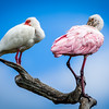 White Ibis and Spoonbill Preening