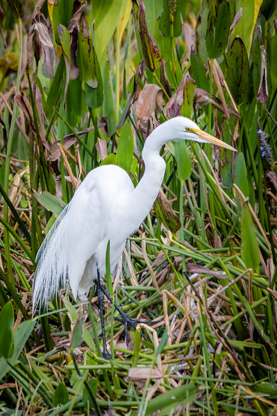 Great White Egret at Green Cay Wetlands