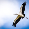 Wood Stork at Green Cay Wetlands