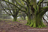 Ancient trees at the start of the Precipice Walk