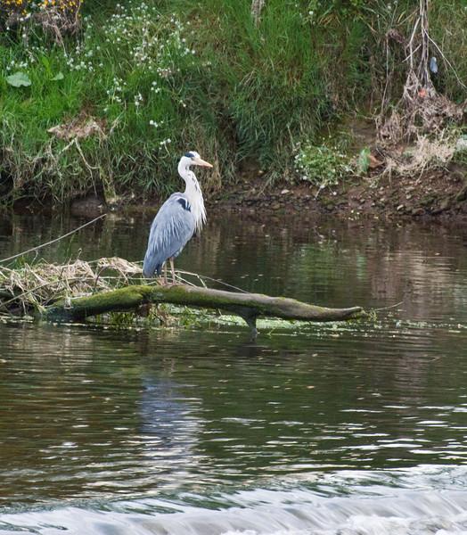 Heron, River Coquet, Warkworth, Northumberland