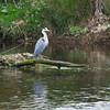 Heron, River Coquet, Warkworth, Northumberland