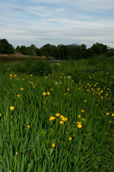 Buttercups and River Coquet, late evening, Warkworth, Northumberland