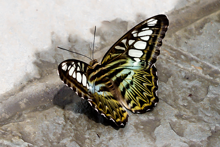 A large ParthenosSylvia or 'Clipper' butterfly takes a drink at Brookside Gardens