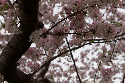 Cherry blossoms - April 2013.