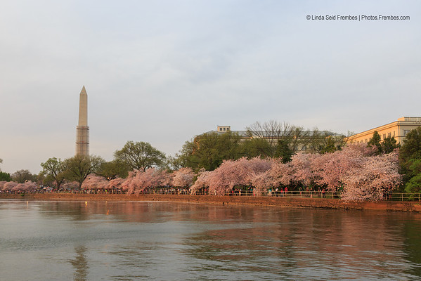 Cherry blossoms on the Tidal Basin - April 2013.