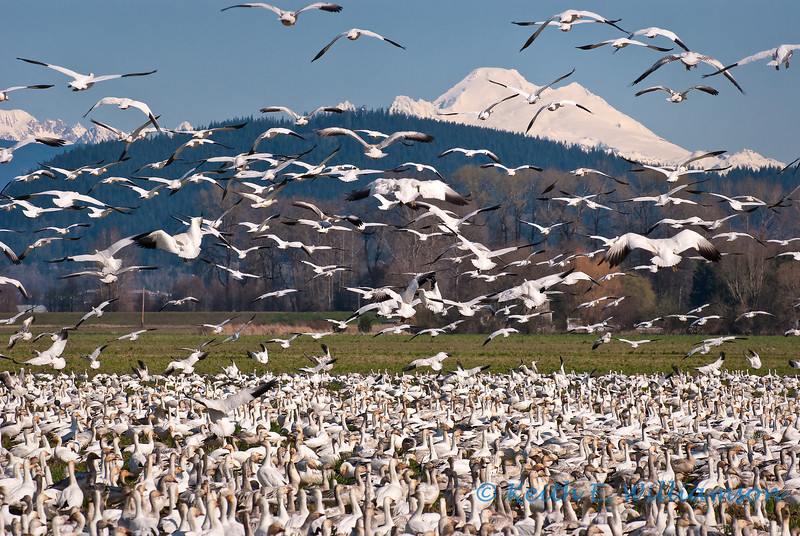 Snow Geese take flight before Mount Baker