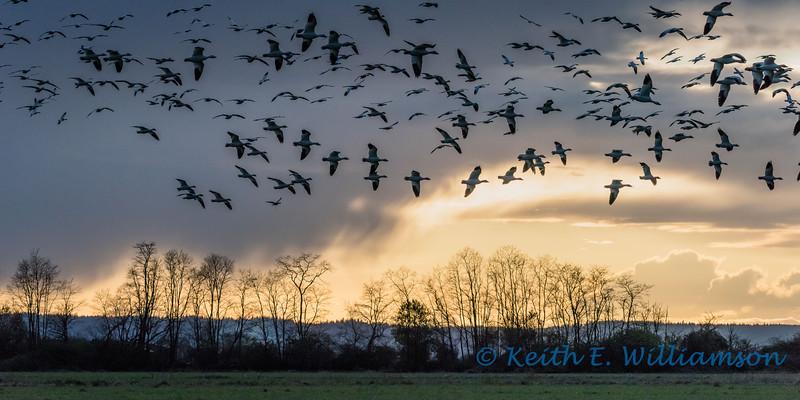 Snow Geese over Fir Island