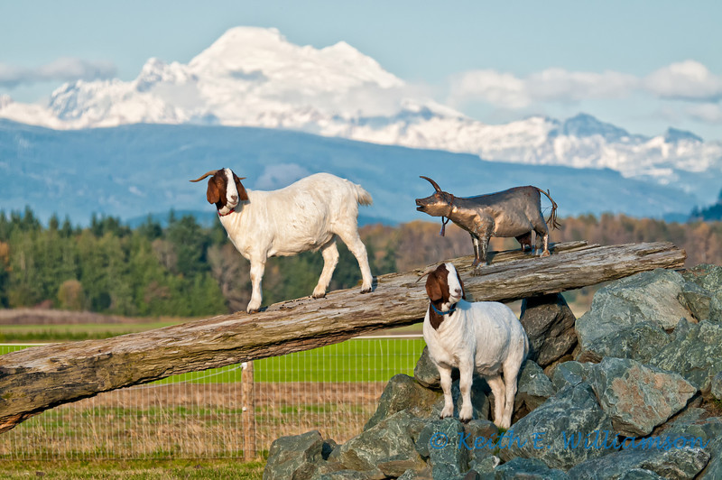 Mountain, goats, and what?