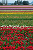 Diverse fields of Tulip Town