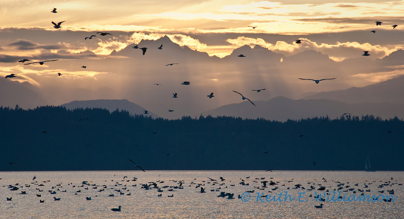 Dinner time for Gulls, Puget Sound