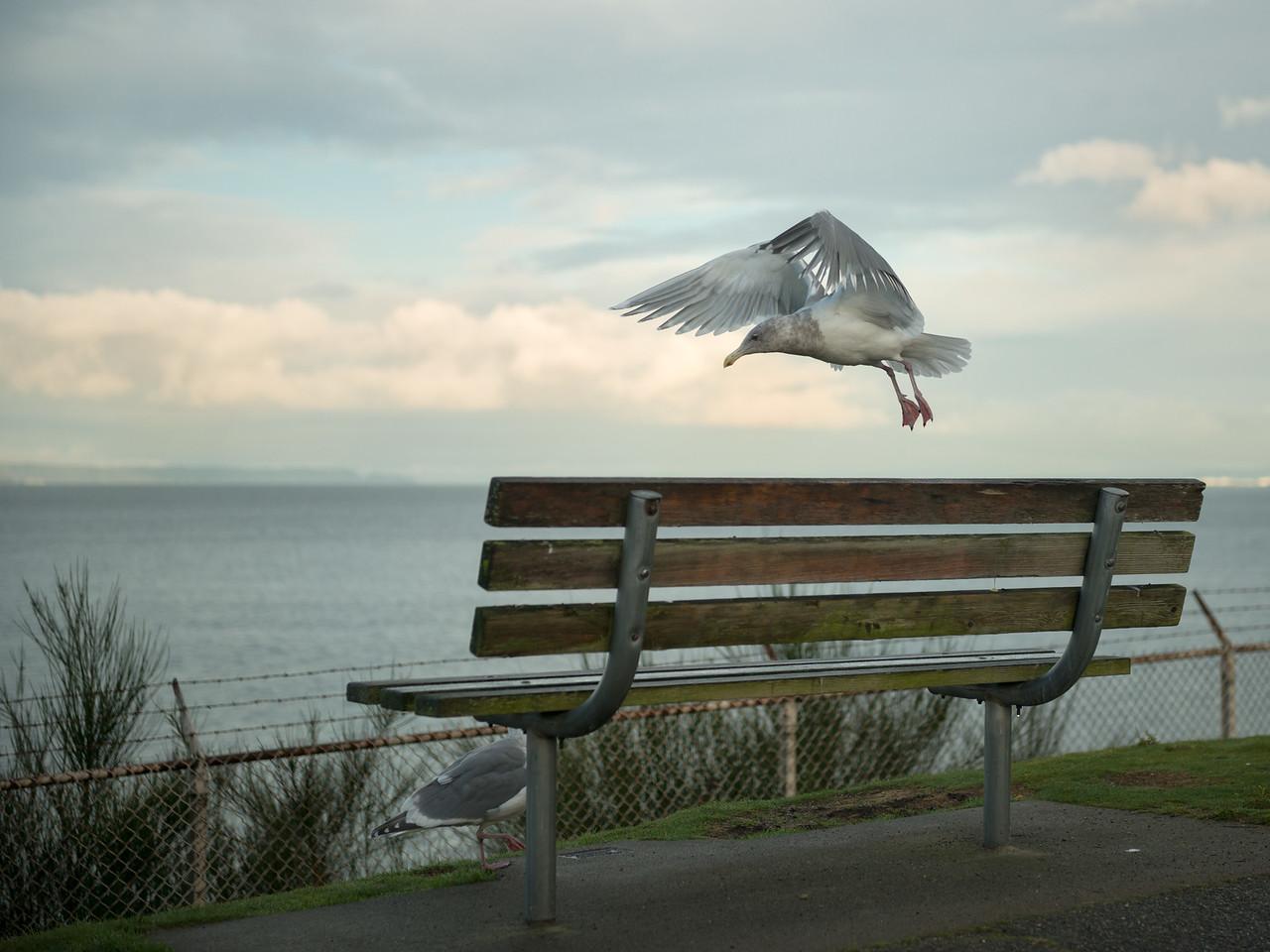 20151222.  Seagulls on a park bench, Carkeek Park, Seattle WA.